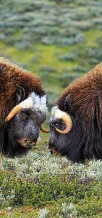 norge musk oxe